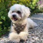 designer dog harness gucci